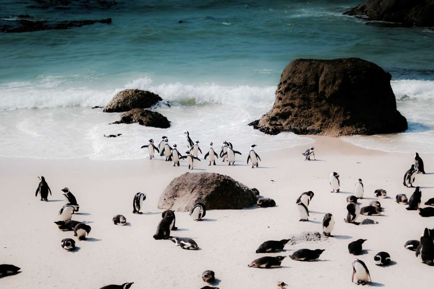 south-africa-penguins