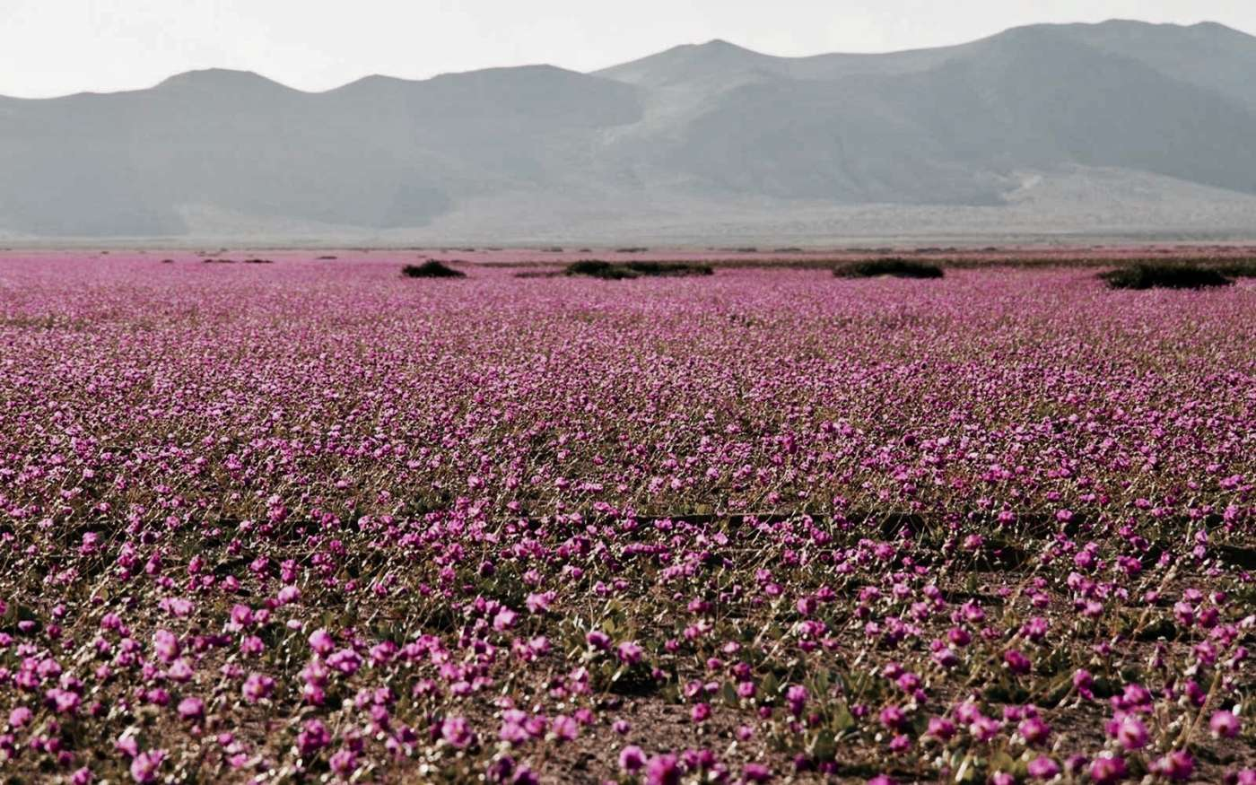 flower desert-chile